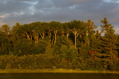 Birches on Mill Lake at sunset